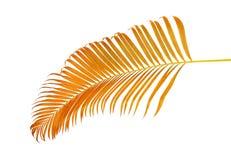 黄色棕榈叶Dypsis lutescens或金黄藤茎棕榈,槟榔树棕榈叶,在与c的白色背景隔绝的热带叶子 免版税库存图片