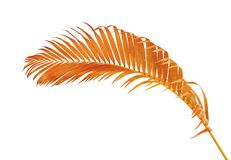 黄色棕榈叶Dypsis lutescens或金黄藤茎棕榈,槟榔树棕榈叶,在与c的白色背景隔绝的热带叶子 库存照片