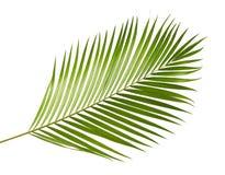 黄色棕榈叶Dypsis lutescens或金黄藤茎棕榈,槟榔树棕榈叶,在白色背景隔绝的热带叶子 免版税库存照片