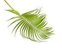 黄色棕榈叶Dypsis lutescens或金黄藤茎棕榈,槟榔树棕榈叶,在白色背景隔绝的热带叶子 免版税库存图片