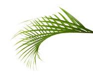 黄色棕榈叶Dypsis lutescens或金黄藤茎棕榈,槟榔树棕榈叶,在白色背景隔绝的热带叶子 免版税图库摄影