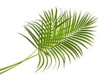 黄色棕榈叶Dypsis lutescens或金黄藤茎棕榈,槟榔树棕榈叶,在白色背景隔绝的热带叶子 库存照片