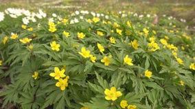 黄色森林春天花银莲花属在森林公园,生态的第一朵花增长在冬天以后,室外