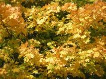黄色槭树叶子纹理 秋天/秋天自然 库存照片