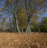 黄色槭树叶子 免版税库存照片