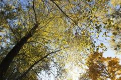 黄色槭树叶子 库存照片