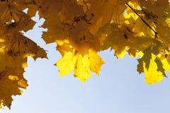 黄色槭树叶子 免版税库存图片