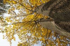 黄色槭树叶子 免版税图库摄影