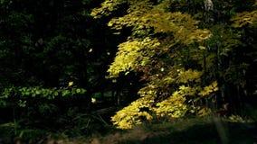 黄色槭树和叶子在空气在公园或森林在秋天在好日子 慢的行动 股票视频
