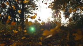 黄色槭树在发光通过它的秋天公园和太阳把落留在 五颜六色的秋季 美好的横向 股票视频