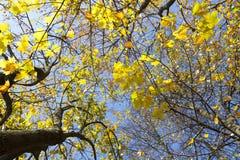 黄色槭树在树离开反对蓝天 图库摄影