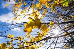 黄色槭树在秋天晴天蓝天背景离开 库存图片