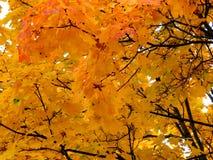黄色槭树金黄秋天背景在分支离开 库存照片