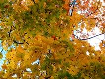 黄色槭树金黄秋天背景在分支离开 免版税库存照片