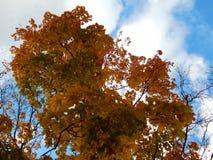 黄色槭树金黄秋天背景在分支离开 图库摄影