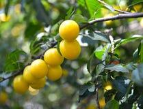 黄色樱桃李子果子在分支李属cerasifera的 库存照片
