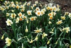 黄色水仙在庭院里增长 免版税图库摄影