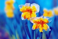 黄色水仙开花 库存图片