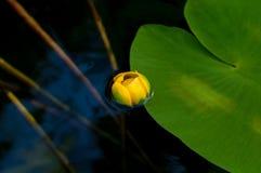 黄色水百合的花蕾 最少水百合自然地增长 免版税库存照片