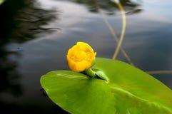 黄色水百合的花蕾 最少水百合自然地增长 库存照片