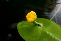 黄色水百合的花蕾 最少水百合自然地增长 免版税库存图片