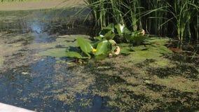黄色水花和荷花在湖离开 影视素材