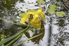 黄色水虹膜在盐水湖的水域中反射了 免版税库存图片
