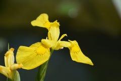 黄色水虹膜水旗子 库存照片