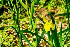 黄色池塘虹膜 免版税库存照片
