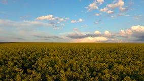 黄色油菜籽的领域反对晴朗的天空蔚蓝的 股票视频