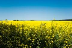 黄色油菜籽领域和蓝天在一个晴天 免版税库存图片