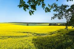 黄色油菜籽领域和蓝天在一个晴天 库存照片