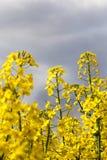 黄色油菜籽 免版税图库摄影