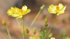黄色波斯菊花击中了与goldsunlight的风 影视素材