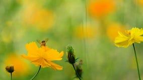 黄色波斯菊花在庭院里,泰国 影视素材