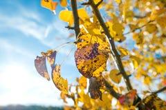 黄色洗染了转动黑色的叶子,当仍然附有树枝 免版税库存照片