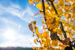 黄色洗染了转动黑色的叶子,当仍然附有树枝 免版税图库摄影