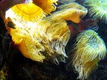 黄色海藻 免版税库存图片