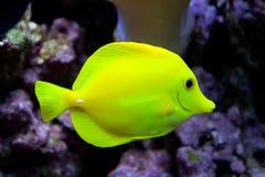黄色特性在水中 免版税库存照片