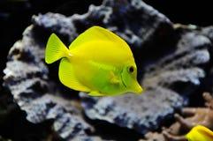 黄色特性鱼 库存照片