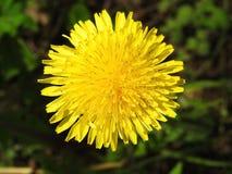 黄色狂放的蒲公英花,立陶宛 库存图片