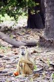 黄色狒狒 库存照片