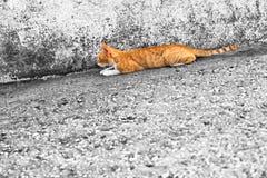黄色猫狩猎 库存图片