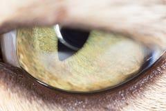 黄色猫眼 2009朵超级花宏观的夏天 免版税库存照片