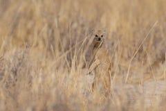 黄色猫鼬看, etosha nationalpark,纳米比亚 库存图片