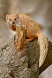 黄色猫鼬, Cynictis penicillata,坐树干 免版税库存照片