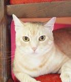 黄色猫 免版税图库摄影