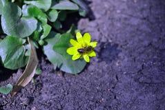 黄色猿猴草属毛茛第一朵春天花与授粉它,绿色发光的叶子的小蜂蜜蜂的在背景中 库存照片