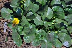 黄色猿猴草属毛茛第一朵春天花与授粉它,绿色发光的叶子的小蜂蜜蜂的在背景中 免版税库存照片