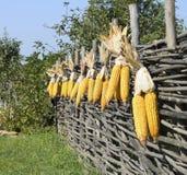 黄色玉米的垂悬的耳朵 免版税库存照片